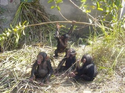 6. 4 happy chimpanzee orphans.jpg
