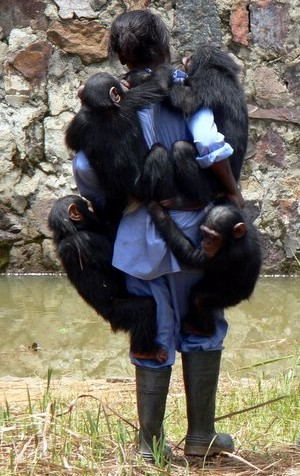 All the chimps love Angeline