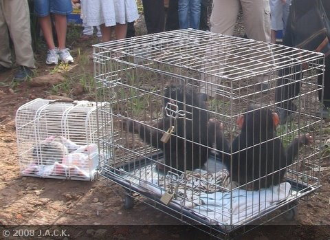 2-chimps-1-bushbaby.jpg