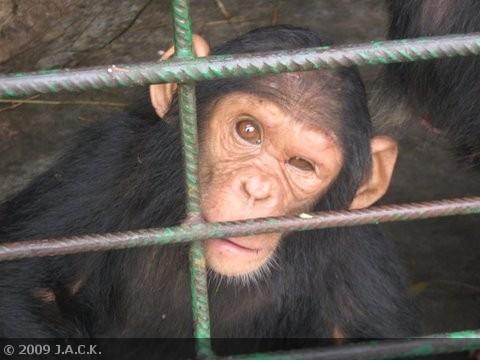 J A C K Chimpanzee Sanctuary » Blog Archive » Tough times