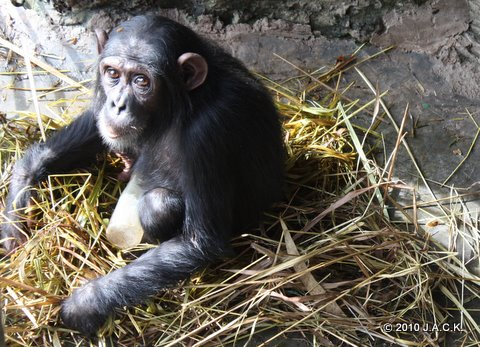 April 2010 - Elia closes herself from the others and doesn't pay attention to the other chimpanzees that are in her group