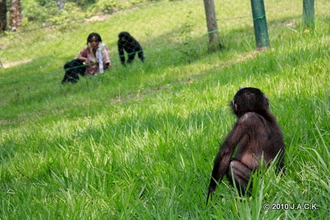 Chiba staring at the other Bonobos