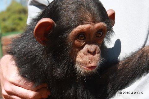 VIDA, 33rd chimpanzee handed over to J.A.C.K.