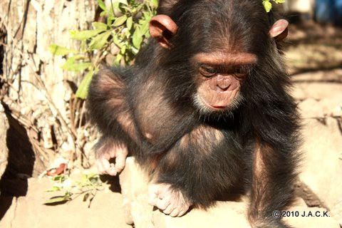 VIDA baby chimpanzee