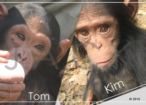0ctober 2010 - 35 baby chimpanzees at J.A.C.K. victims of bushmeat & pet trade