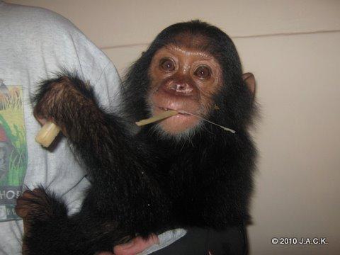 Ekolo, 36th orphan chimp at J.A.C.K