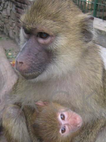 baby baboon with surrogate mum