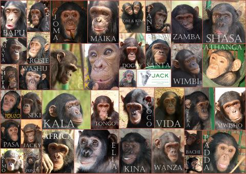 chimpanzees rescued by J.A.C.K.
