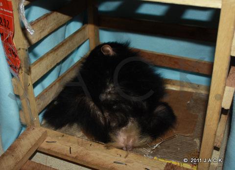 baby Luna, 39th orphan chimpanzee rescued by J.A.C.K.