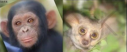 galagos & chimps
