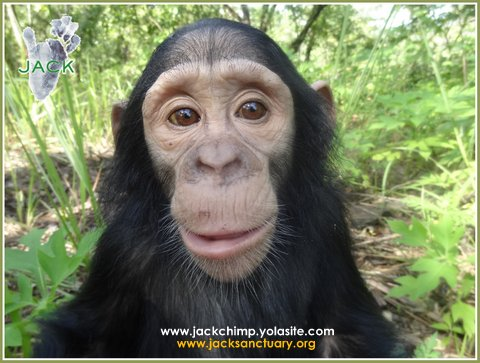 J A C K Chimpanzee Sanctuary » wildlife