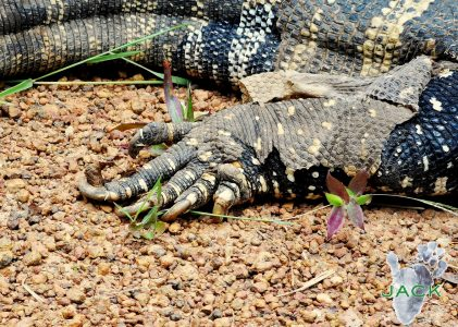 """Kipling"", the rescued monitor lizard put back into the wild"