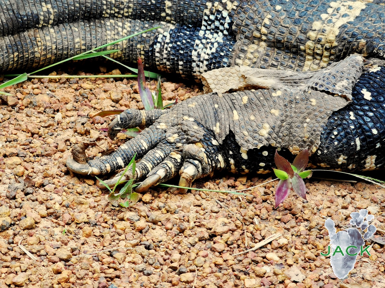 """""""Kipling"""", the rescued monitor lizard put back into the wild"""