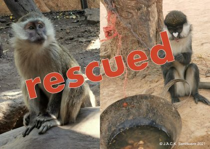 Two monkey rescues in two days!