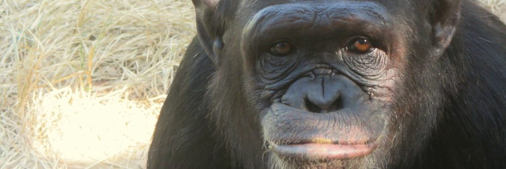 J.A.C.K Chimpanzee Sanctuary