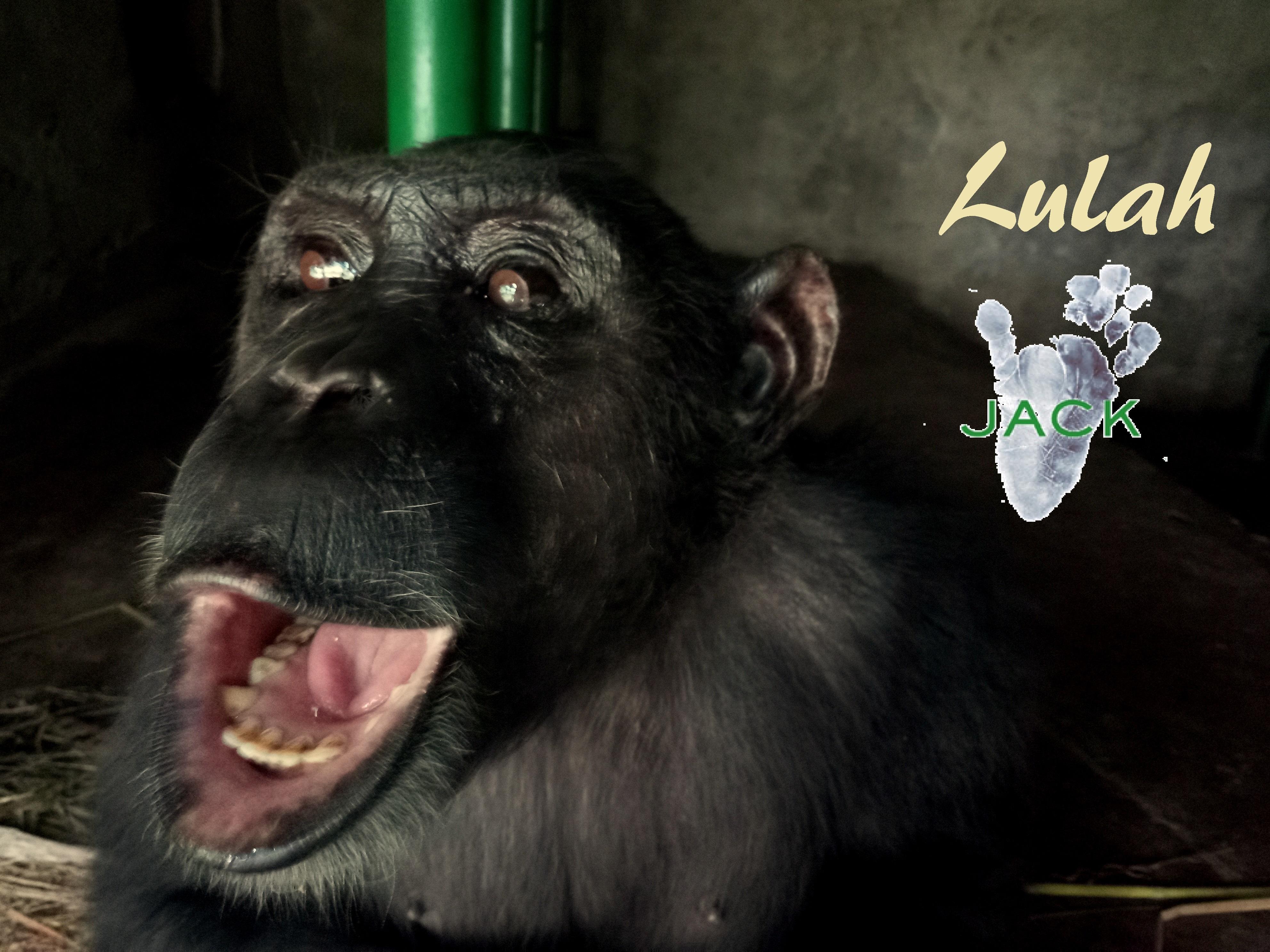 Chimp LULAH is settling in very well!
