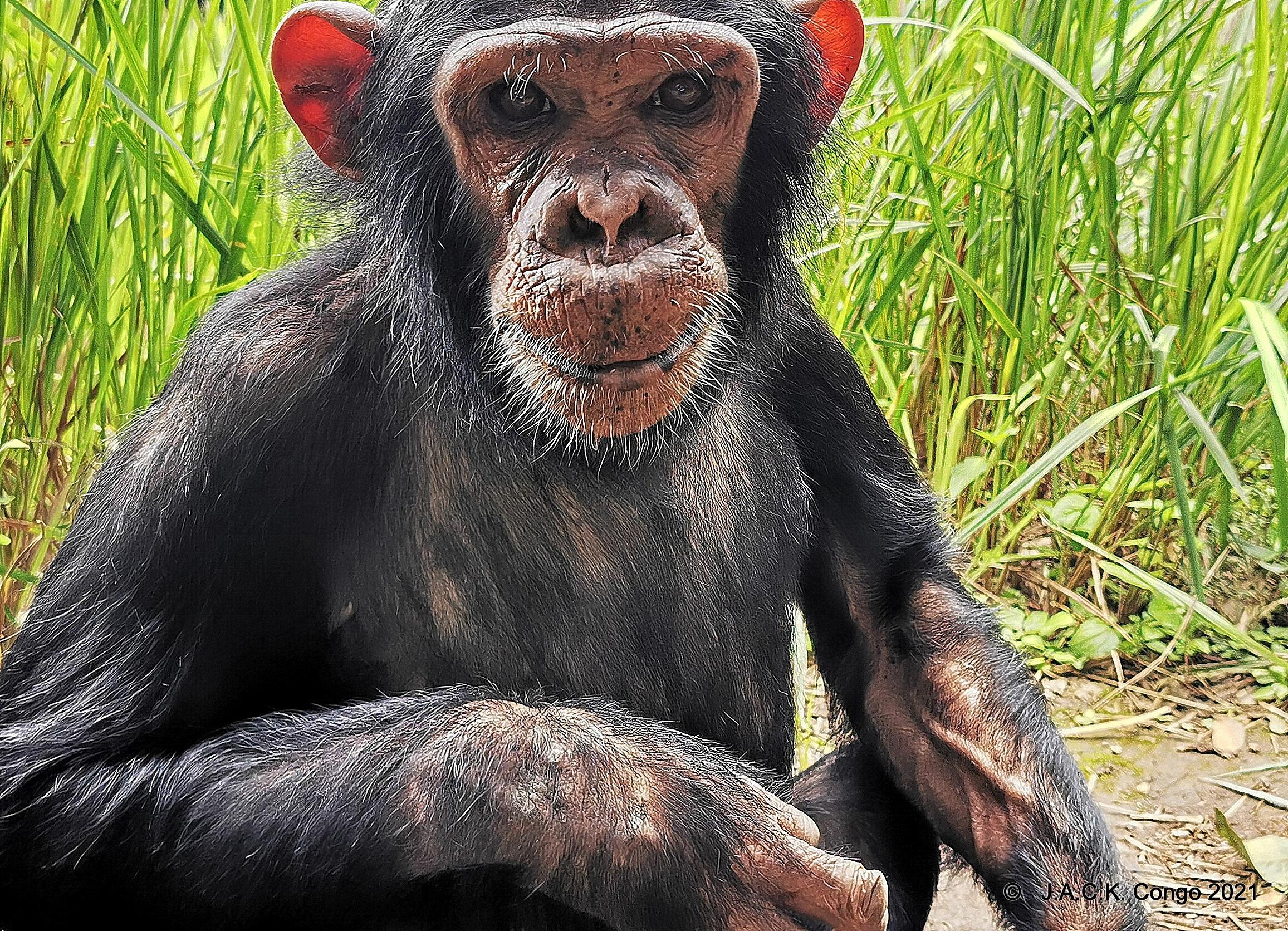 Zumba had forgotten she was a chimpanzee
