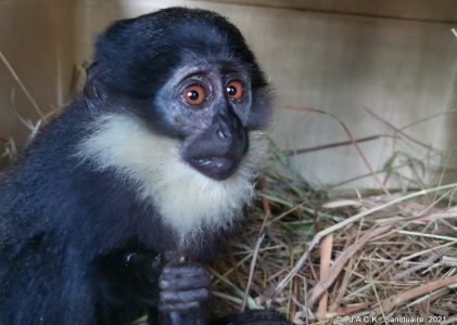Limping Cercopithecus back in her group
